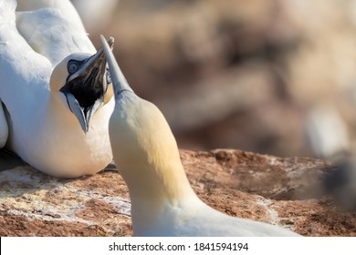 Northern gannet, head portrait of two fighting beautiful sea bird with opened beak, Helgoland island, Germany.