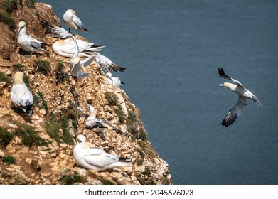 Northern gannet, morus bassanus, coming into land near a small group of gannets
