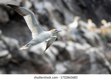 Northern gannet (Morus bassanus) flying in front of the steep cliffs, where the seabirds are nesting during the breeding season. Wildlife photography, travel and tourism destination.