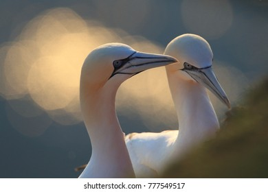 Northern Gannet (Morus bassanus) Helgoland Germany