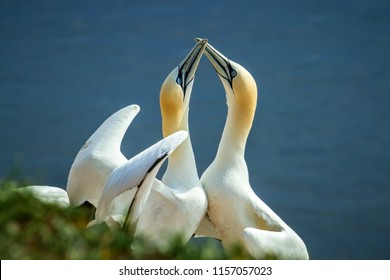 Northern Gannet (Morus bassanus), mating gannets on cliffs, Helgoland in Germany, bird colony, beautiful birds, typical mating behaviour, nesting birds on cliffs, harmony, lovely bird couple
