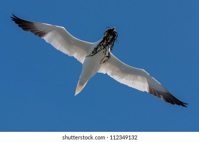 Northern Gannet (Morus bassanus) at Runde (Norway)