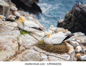 Northern gannet (Morus bassanus).Seabird, the largest species of the gannet family. Female squats in nest.The male invites her to mate as a gift by offering fresh herbs.