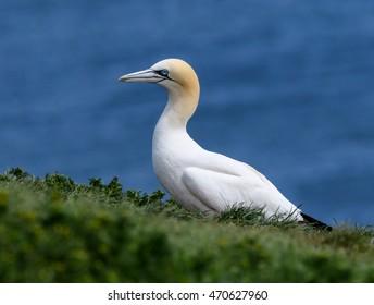 Northern Gannet Portrait against Ocean