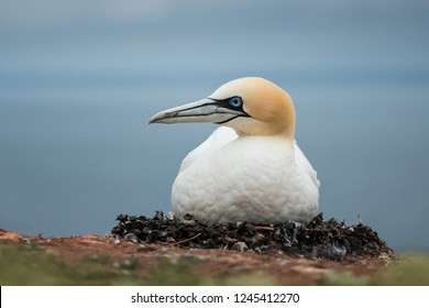 Northern gannet sits on a nest with eggs, close up, Morus bassanus, Helgoland, Germany