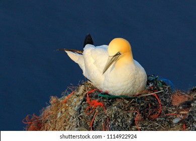 Northern Gannet sitting on the eggs in plastic trash nest. Wildlife scene from nature. Sunset, bird behaviour on the cliff above the dark blue sea water. Animal from Helgoland, Germany.