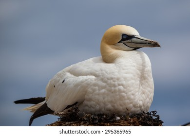 Northern Gannet sleeping on the nest in Bonaventure Island, Perce, Gaspe, Quebec, Canada.