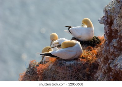 Northern Gannets building their nest. Helgoland, Germany.