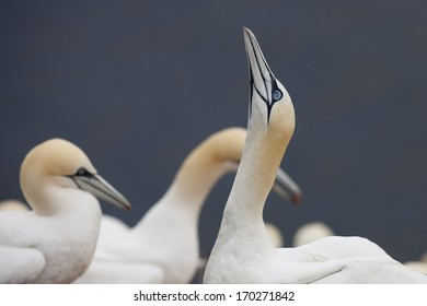 Northern gannets nesting at the cliffs of Helgoland