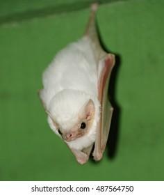 Northern Ghost Bat, Tiskita Rain Forest, Costa Rica