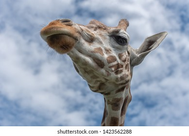 Northern giraffe, Giraffa camelopardalis, three-horned giraffe, the animal with the longest eyelashes against the blue sky. Watching of wildlife in safari. Interior phot Unusual perspective view