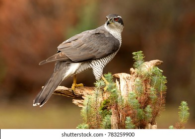 Northern goshawk. Accipiter gentilis