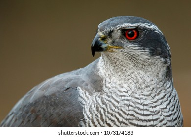 Northern Goshawk (Accipiter gentilis), adult male, Castile and Leon, Spain.
