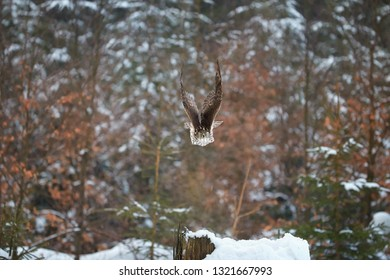 Northern Goshawk, Accipiter gentilis, bird of prey very fast flying directly at camera. Front view, european winter forest.  Animal action scene.