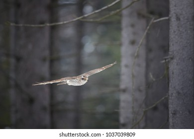 Northern goshawk, Accipiter gentilis. Female, quickly flying bird of prey in its native forest environment. Animal action scene. Winter nature.
