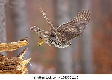 Northern goshawk (Accipiter gentilis) is a medium-large raptor in the family Accipitridae, which also includes other extant diurnal raptors, such as eagles, buzzards and harriers.