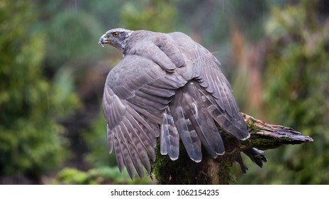 Northern goshawk (Accipiter gentilis) in the Netherlands