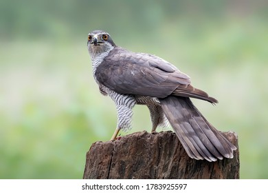 Northern Goshawk (Accipiter gentilis) on a tree trunk in the forest of Noord Brabant in the  Netherlands. Green background with copy space.