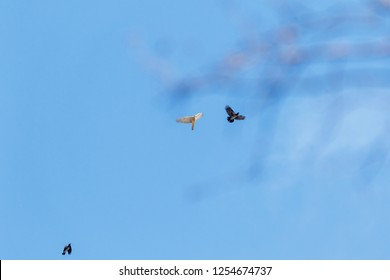 Northern Goshawk (Accipiter gentilis). Russia