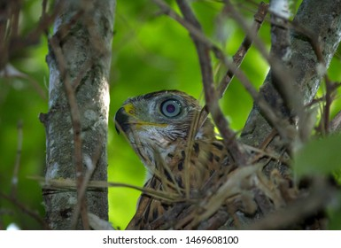 Northern goshawk adult nestling in the nest.