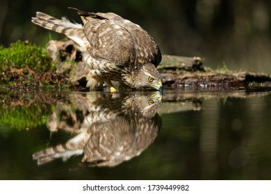 Northern goshawk bird of prey drinking water from a puddle in the forest