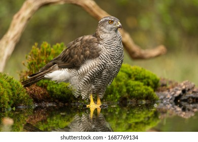 Northern goshawk bird of prey standing in the water in the forest