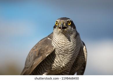 Northern goshawk closeup on nature background