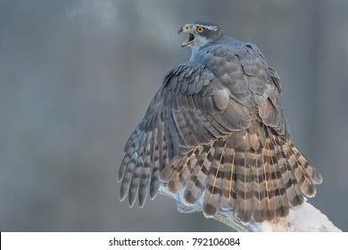 Northern Goshawk cries with a blow of hot air  in the first light