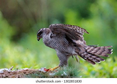 Northern goshawk eating a pigeon in the forest in the Netherlands