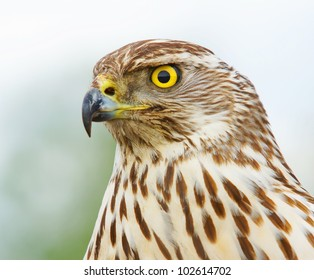 Northern Goshawk Eurasian Sparrowhawk