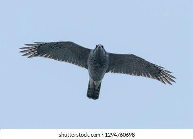 Northern goshawk flying (Accipiter gentilis) Bird of prey wildlife.