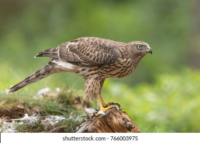 Northern Goshawk isolated