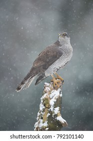 Northern Goshawk perched in the snow