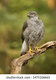 Northern goshawk posing on a old wooden stick in the forest with green natural background