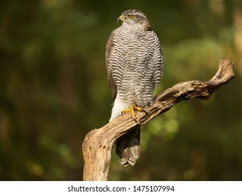 Northern goshawk sitting in the forest on an old wooden stick