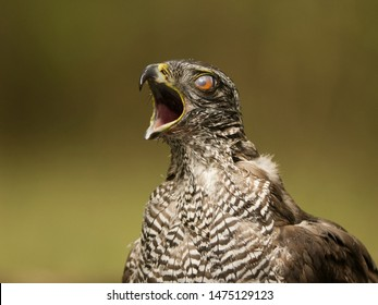 Northern goshawk stretching his neck and opens his beak in front of soft background