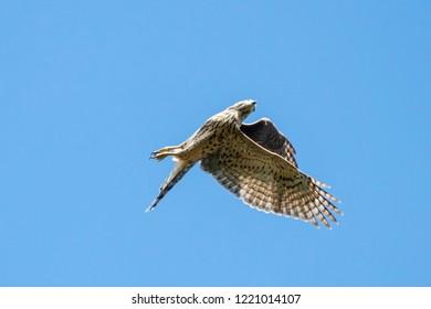 Northern goshawk young flying under blue sky like acrobat. Strong powerful hawk. Bird of prey in wildlife.