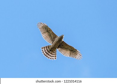 Northern goshawk young flying under blue sky. Strong powerful hawk. Bird of prey in wildlife.