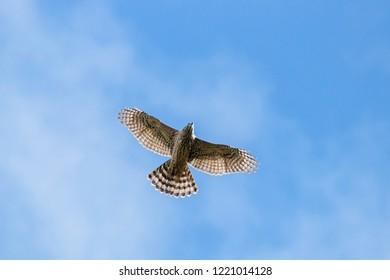 Northern goshawk young flying under blue sky. Strong powerful hawk. Bird of prey in wildlife.