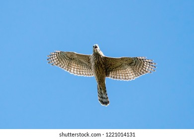Northern goshawk young flying under blue sky crying and screaming. Strong powerful hawk. Bird of prey in wildlife.