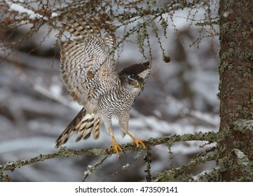 Northern goshawk,Accipiter gentilis, male, raptor with outstretched wings landed on spruce branch in snowy forest. Winter. Europe.