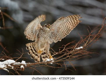 Northern goshawk,Accipiter gentilis, male, raptor with outstretched wings landed on branch in forest covered in snow. Winter. Europe.