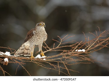 Northern goshawk,Accipiter gentilis, male, raptor, perched  on branch in forest covered in snow. Winter. Europe.