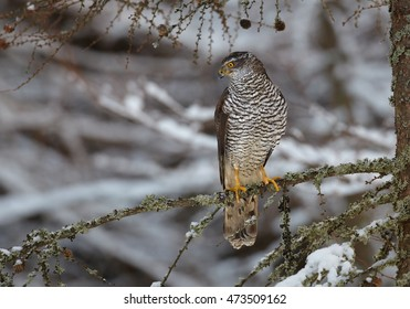 Northern goshawk,Accipiter gentilis, male, raptor with outstretched wings perched  on spruce branch in snowy forest. Winter. Europe.