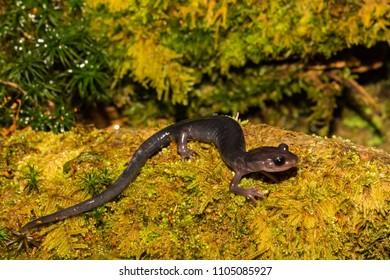 Northern Gray-cheeked Salamander (Plethodon montanus)