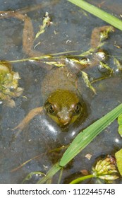 Northern Green Frog floating on the surface of the marsh. Also known as the American Common Toad. Taylor Creek Park, Toronto, Ontario, Canada.
