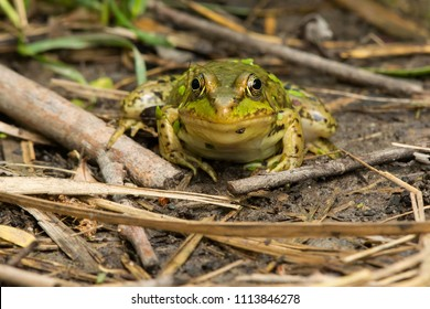 Northern Green Frog resting on the mud basking in the sun. Also known as the American Common Frog. Rouge National Urban Park, Toronto, Ontario, Canada.