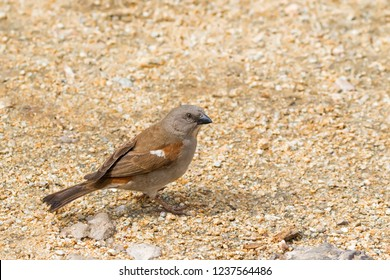 Northern grey-headed sparrow bird in grey with chestnut wings