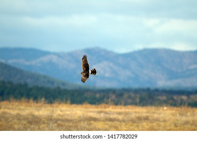 Northern Harrier in flight with the Sangre de Cristo Mountains of New Mexico in the background