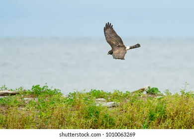 Northern Harrier flying low over the ground searching for a meal. Presqu'ile Provincial Park, Brighton, Ontario, Canada.